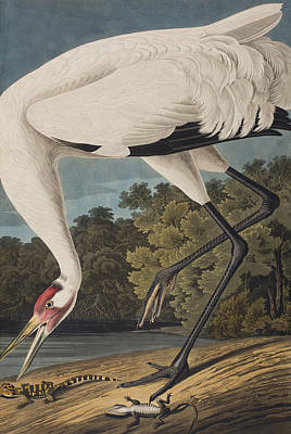 Herons Drawing - Whooping Crane by John James Audubon