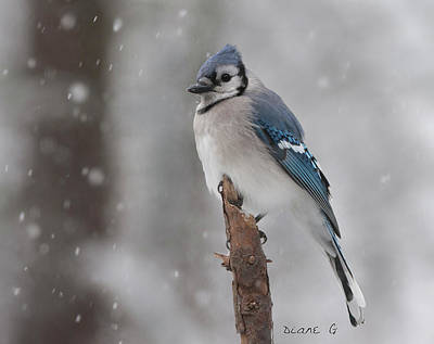 Photograph - Winter Blue Jay by Diane Giurco