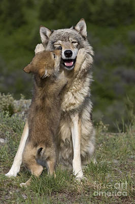 Gray Muzzle Photograph - Wolf Cub Begging For Food by Jean-Louis Klein & Marie-Luce Hubert