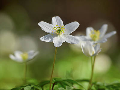 Photograph - Wood Anemone by Jouko Lehto