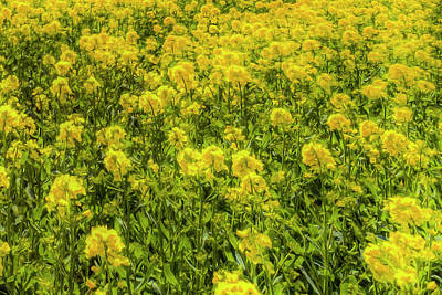 Photograph - Yellow Fields Of Summer Art by David Pyatt