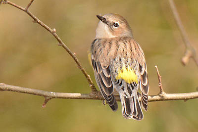 Photograph - Yellow-rumped Warbler by Alan Lenk