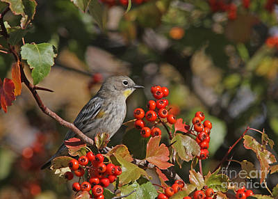 Tree Photograph - Yellow-rumped Warbler by Gary Wing
