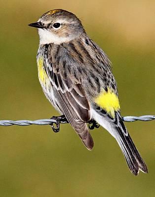 Photograph - Yellow-rumped Warbler by Ira Runyan
