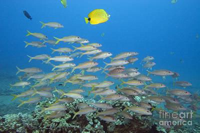 Blend Photograph - Yellowfin Goatfish by Dave Fleetham - Printscapes