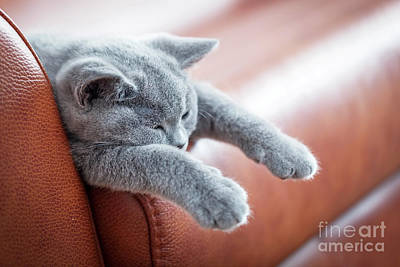 Faces Photograph - Young Cute Cat Resting On Leather Sofa. The British Shorthair Kitten With Blue Gray Fur by Michal Bednarek