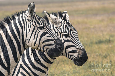 Zebra In National Park. Africa, Kenya Art Print