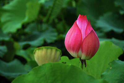 Photograph - Blossoming Lotus Flower Closeup by Carl Ning