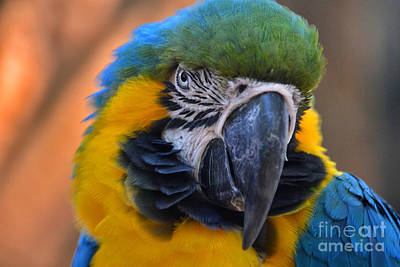Photograph - 40- Blue And Gold Macaw by Joseph Keane