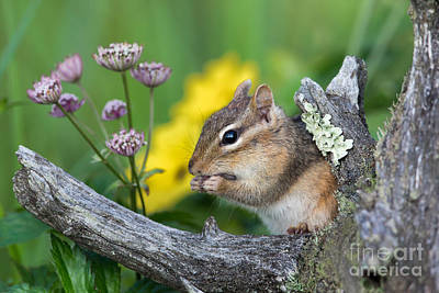 Photograph - Eastern Chipmunk by Linda Freshwaters Arndt