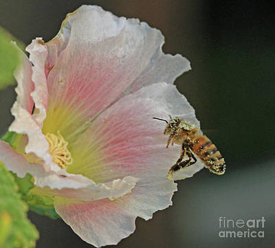 Photograph - Honeybee by Gary Wing