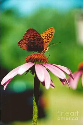 #416 14a Butterfly Fritillary, Coneflower Lunch Break Good Till The Last Drop Original by Robin Lee Mccarthy Photography
