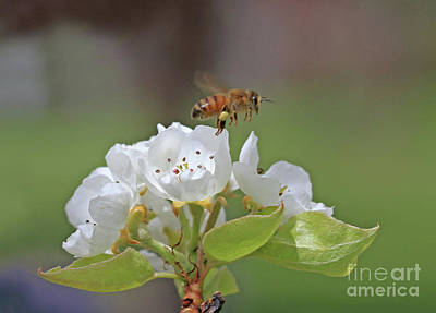 Wall Art - Photograph - Honeybee by Gary Wing