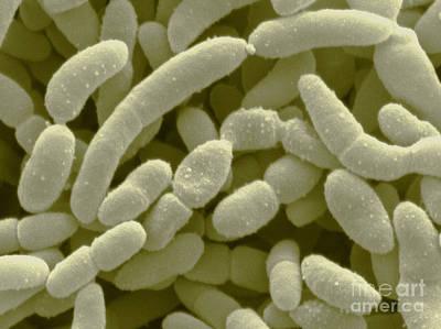 Acetobacter Aceti Bacteria Art Print by Scimat