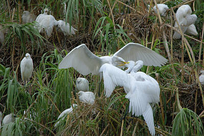 Photograph - Adult Great Egret Feeding Their Fledglings by Roy Williams
