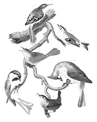 American Ornithology Art Print by Granger