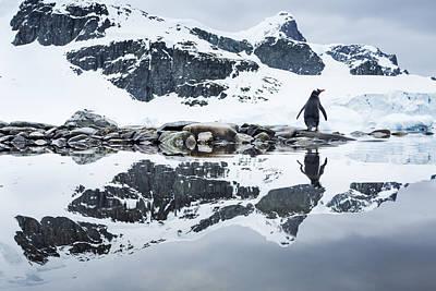 Antarctica, Cuverville Island, Gentoo Art Print