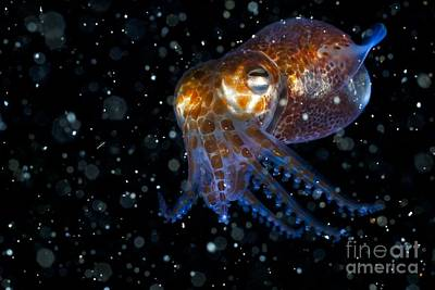 Bobtails Photograph - Atlantic Bobtail Squid by Angel Fitor
