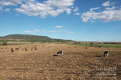 Photograph - Australian Cows by Rob D