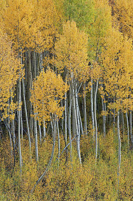 Popstar And Musician Paintings Royalty Free Images - Autumn Aspens Royalty-Free Image by Dean Pennala
