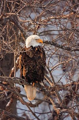 Photograph - Bald Eagle by Peter Lakomy