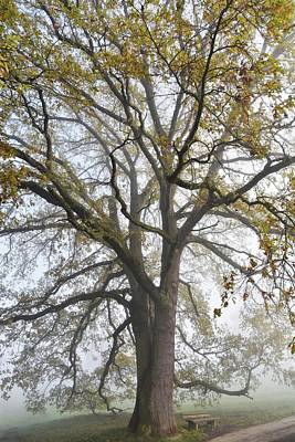 Photograph - beautiful old Oak Tree by Werner Lehmann