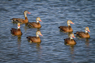 Photograph - Black-bellied Whistling Duck by Ronald Lutz
