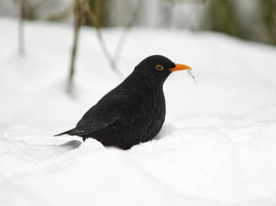 Photograph - Blackbird by Jouko Lehto