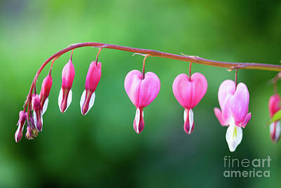Photograph - Bleeding Heart by Kati Molin