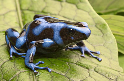Panama Frog Photograph - Blue Poison Dart Frog by Dirk Ercken