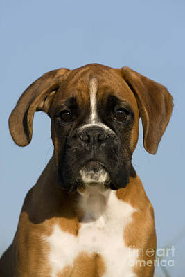 Boxer Puppy Art Print by Jean-Louis Klein & Marie-Luce Hubert