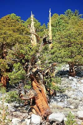 Photograph - Bristlecone Pine by Douglas Miller