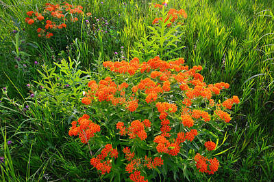 Photograph - Butterfly Weed by Ray Mathis