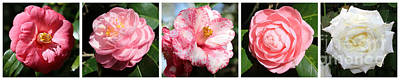 5 Camellias Collage Art Print by Carol Groenen