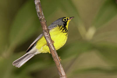 Photograph - Canada Warbler by Alan Lenk