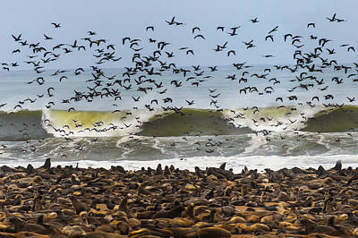 Of Birds Photograph - Cape Fur Seals Arctocephalus Pusillus by Panoramic Images