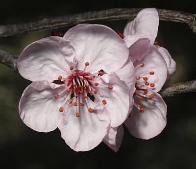Photograph - Cherry Blossom by Masami Iida