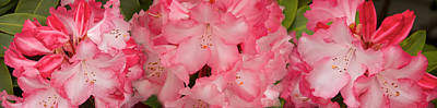 Stamen Photograph - Close-up Of Pink Rhododendron Flowers by Panoramic Images