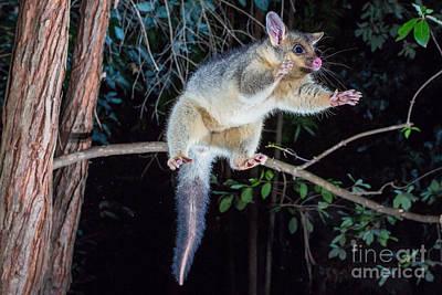 Brushtail Photograph - Common Brush-tailed Possum by B.G. Thomson