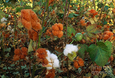 Cotton Boll Photograph - Cotton Bolls by Inga Spence