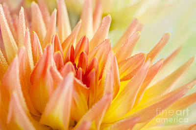 Closeup Photograph - Dahlia by Nailia Schwarz