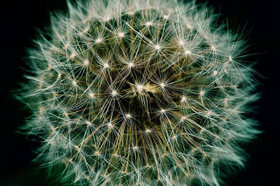 Photograph - Dandelion by Chevy Fleet
