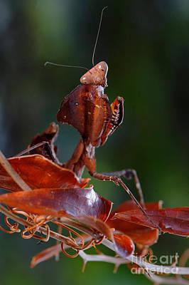 Photograph - Dead Leaf Mantis by Francesco Tomasinelli