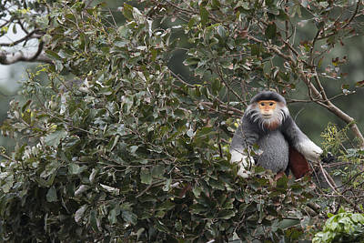 Douc Langur In Treetop Art Print by Cyril Ruoso