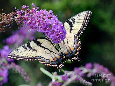 Photograph - Eastern Tiger Swallowtail Butterfly by Karen Adams