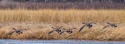 Ganders Photograph - 5 Geese by Paul Freidlund