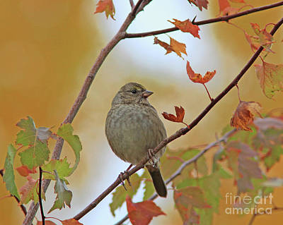 Yellow Photograph - Golden-crowned Sparrow by Gary Wing