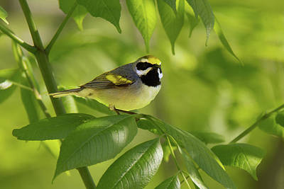 Photograph - Golden-winged Warbler by Alan Lenk