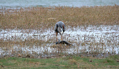 Great Blue Heron Catches Catfish Series Art Print by Roy Williams
