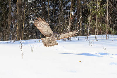 Photograph - Great Grey Owl In Flight by Josef Pittner